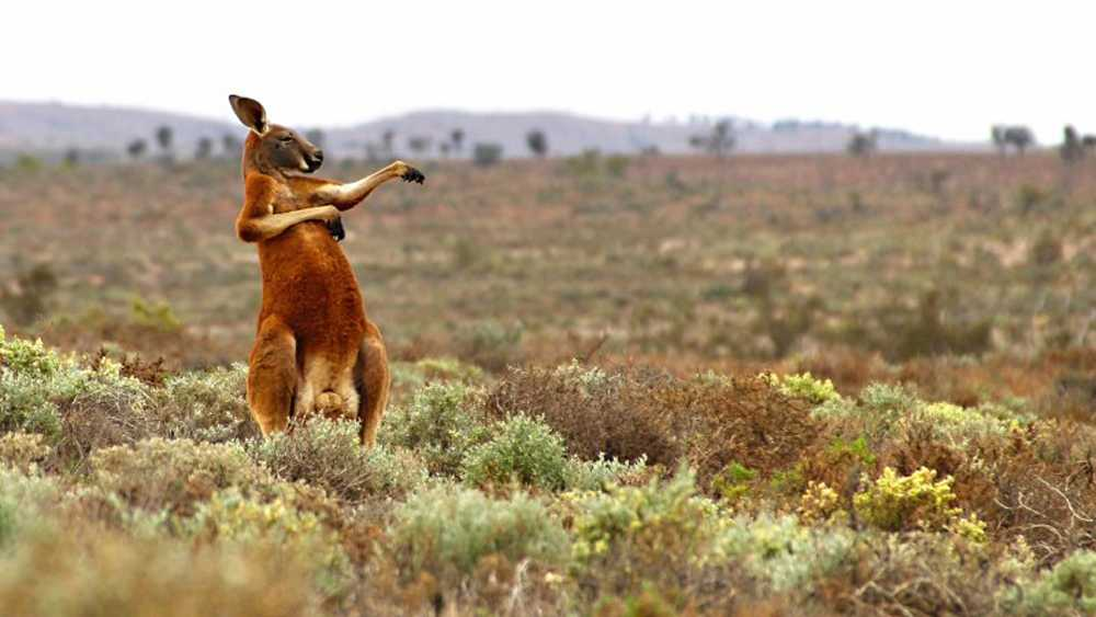 This zen kangaroo appears to be enjoying some yoga in the desert sun