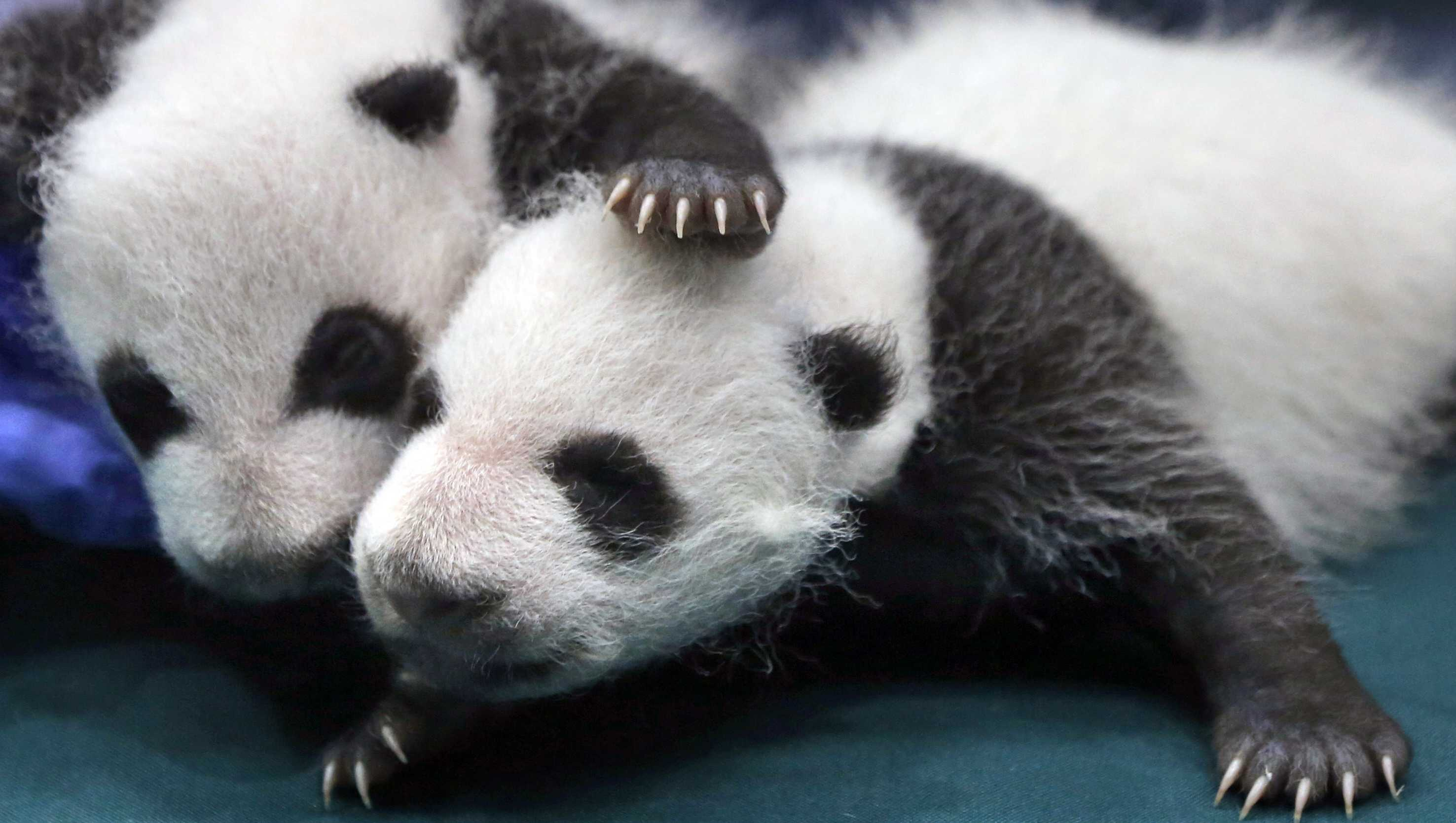 "Two of the one month old Panda triples receive a body check at the Chimelong Safari Park in Guangzhou in south China's Guangdong province. The giant panda, one of the symbols of China, is off the endangered list thanks to aggressive conservation efforts. The International Union for Conservation of Nature said in a report released Sunday, Sept. 4, 2016 that the panda is now classified as ""vulnerable"" instead of ""endangered,"" reflecting its growing numbers in the wild in southern China."