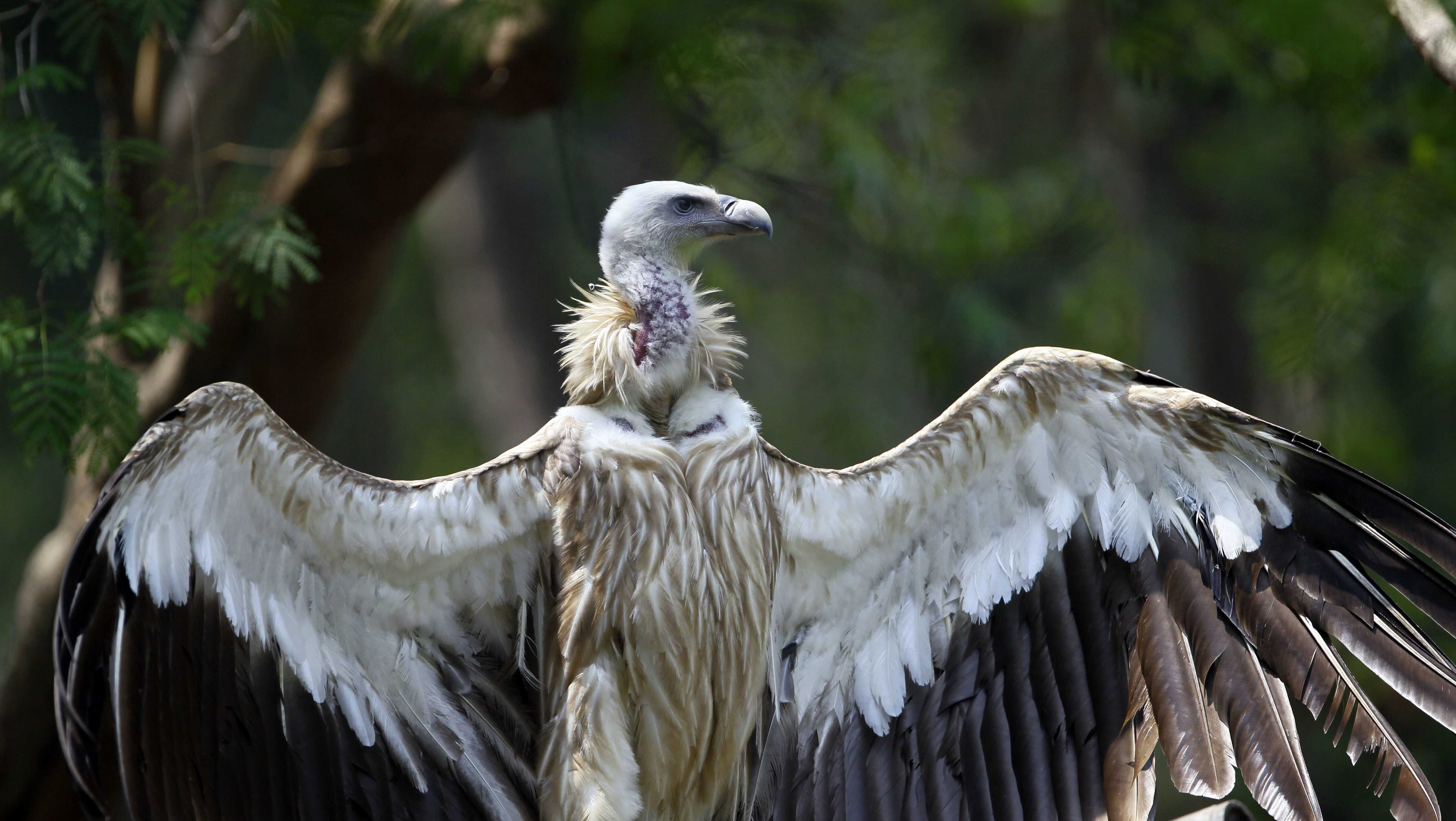 A Himalayan griffon vulture spread its wings at the Zoological Garden in Naypyitaw, Myanmar, Sunday, May 7, 2017. (AP Photo/Aung Shine Oo)