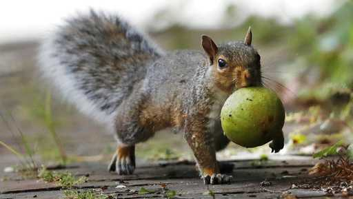 In this Tuesday, Sept. 11, 2018, photo a squirrel carries a walnut in Portland, Maine. A bumper crop of acorns, pine cones and other staples last year led to a population boom of squirrels.