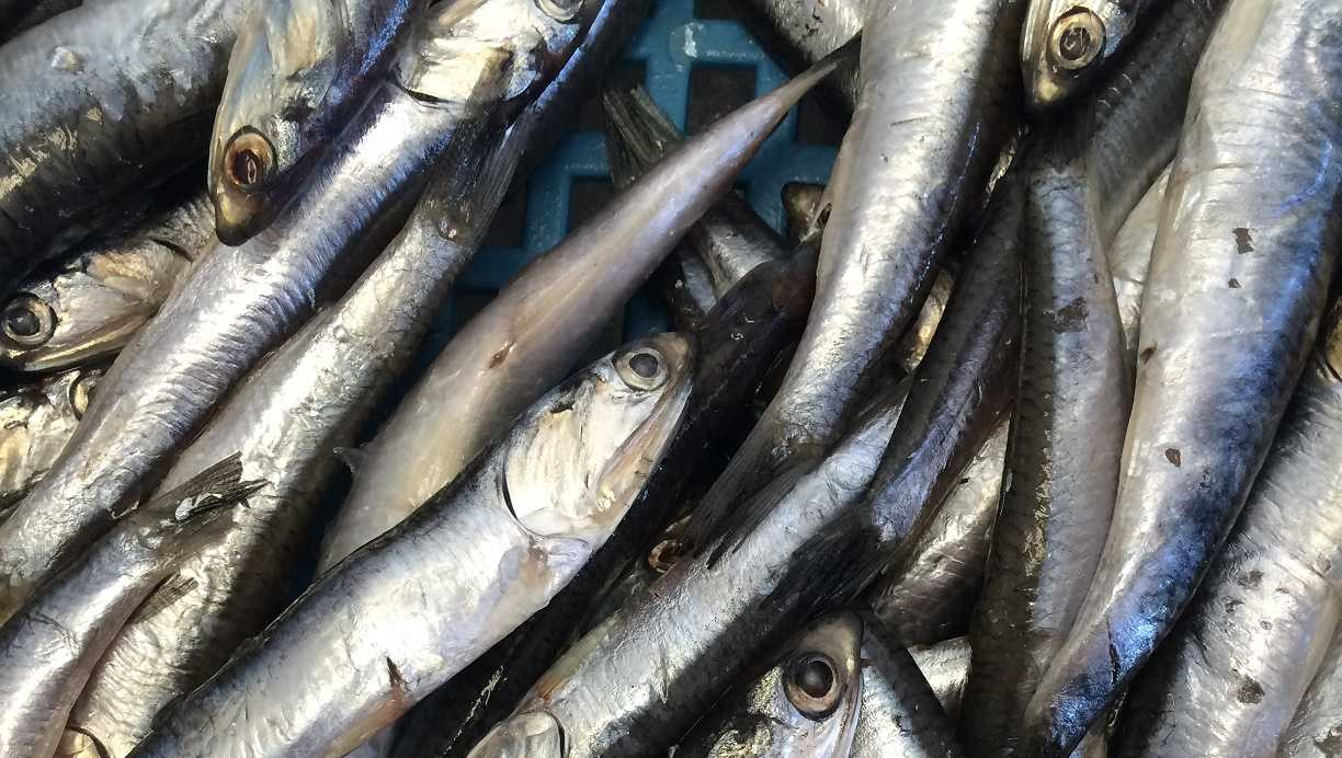 Anchovy Fish | Authorities Set New Annual Catch Limit On Anchovies