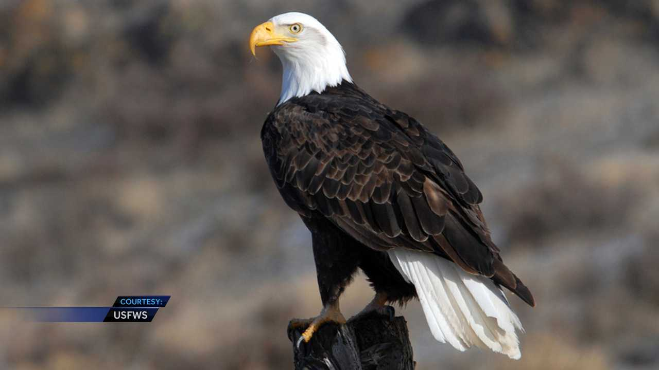 The U.S. Fish and Wildlife Service is offering $2,500 for information leading to the conviction of whoever shot and killed a bald eagle in Alabama near the Georgia state line.