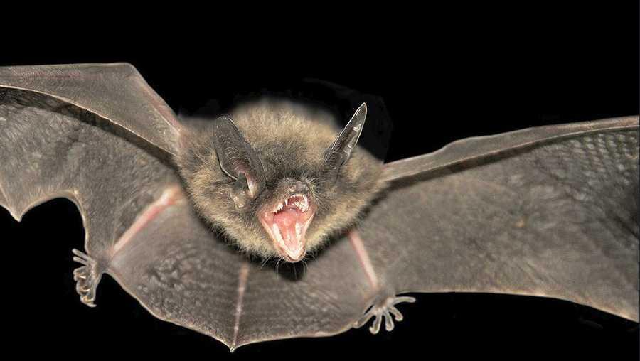 bat - Picture Of A Bat