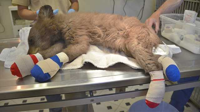 A bear cub is recovering after shesuffered burns to her paws in a wildfire