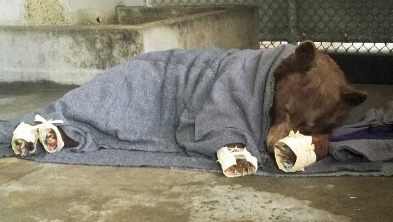 This January 2018 photo provided by the California Department of Fish and Wildlife shows a bear, injured in a wildfire, resting with its badly burned paws wrapped in fish skin - tilapia - and covered in corn husks during treatment at the University of California, Davis Veterinary Medical Teaching Hospital in Davis, Calif.
