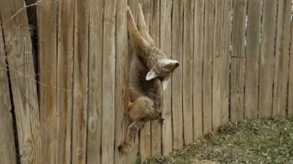"""Coyote commotion in the city; """"We have a coyote in our ..."""
