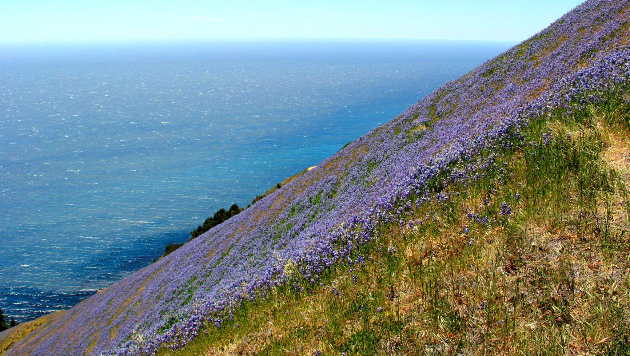 Lupine blooming in Big Sur (May 2014)​