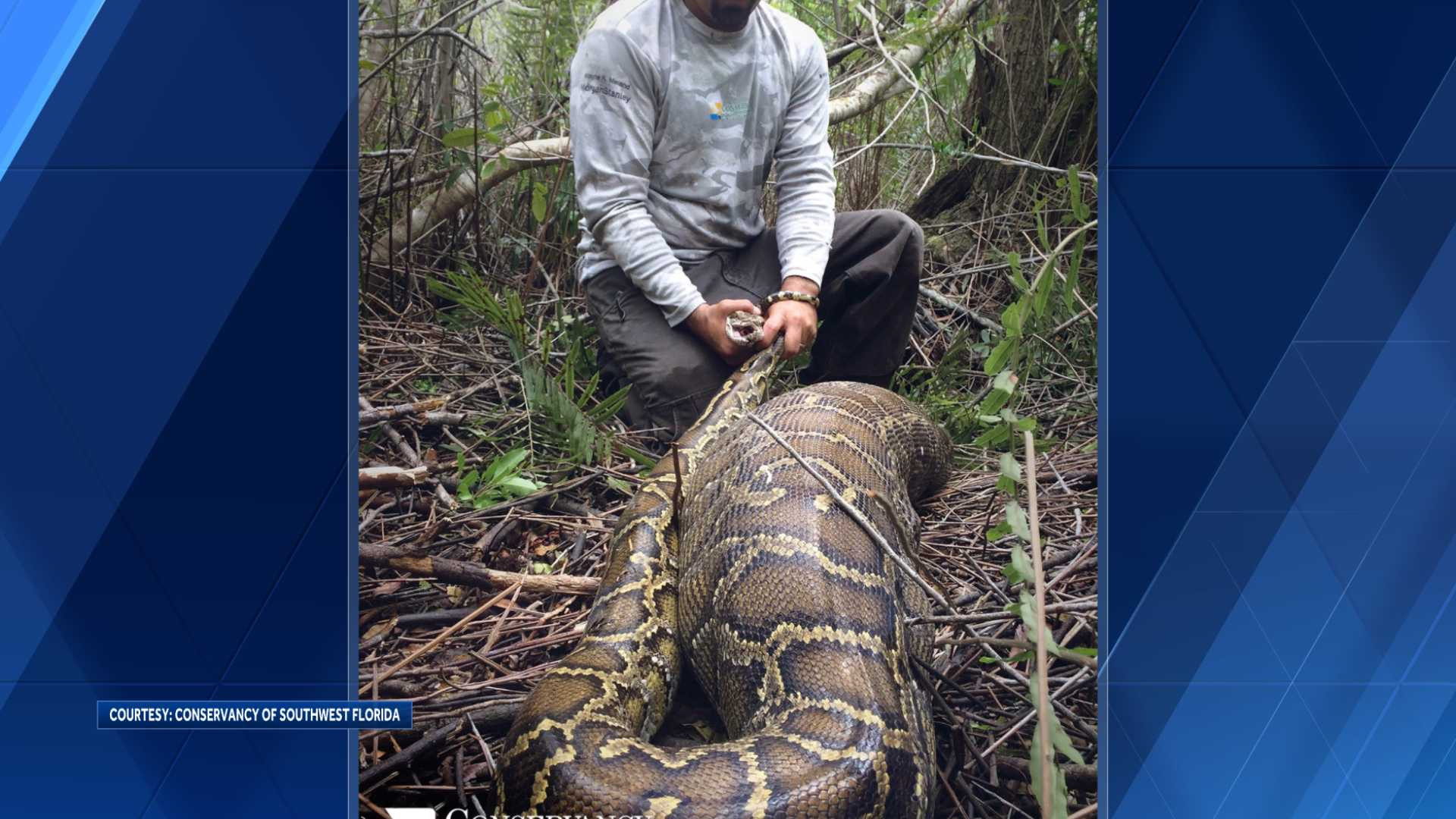 Photos of Burmese python swallowing 35 pound deer released by officials
