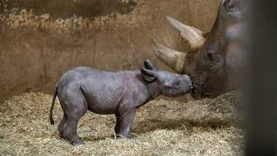 Endangered black rhino calf born at Pittsburgh Zoo