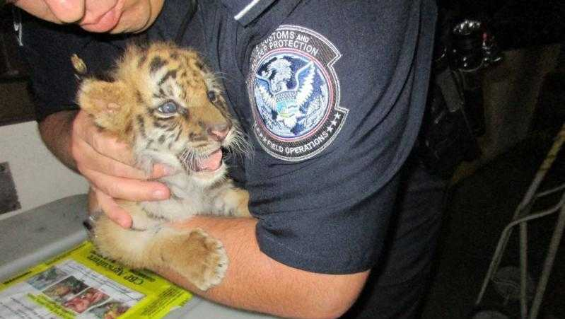 Tiger cub found during a CBP inspection in a passenger vehicle at Otay Mesa on Aug. 23, 2017.