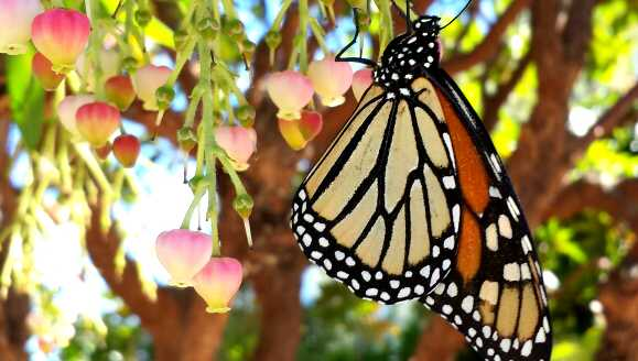 Monarch butterfly in Pacific Grove