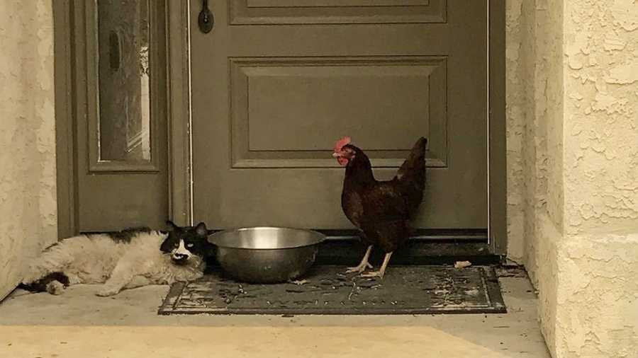 In this photo taken July 28, 2018, provided by the Grass Valley Fire Department, a cat seeking refuge from a raging Northern California wildfire found a fine-feathered friend as it awaited rescue from the heat and flames in Redding, Calif.