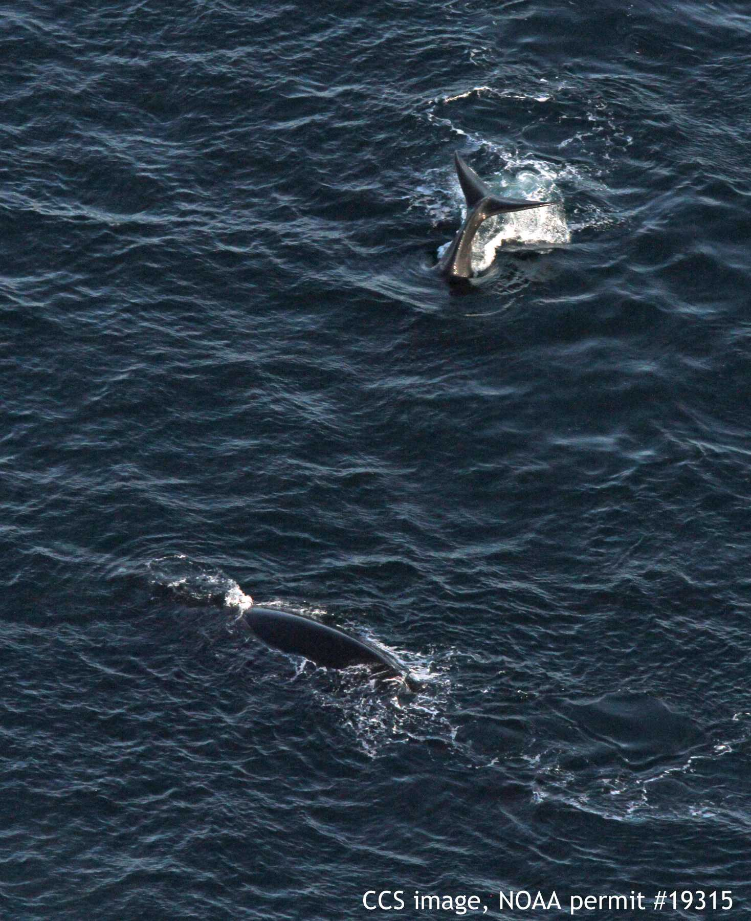 Mother Grey Whale Defends Calf From Orcas