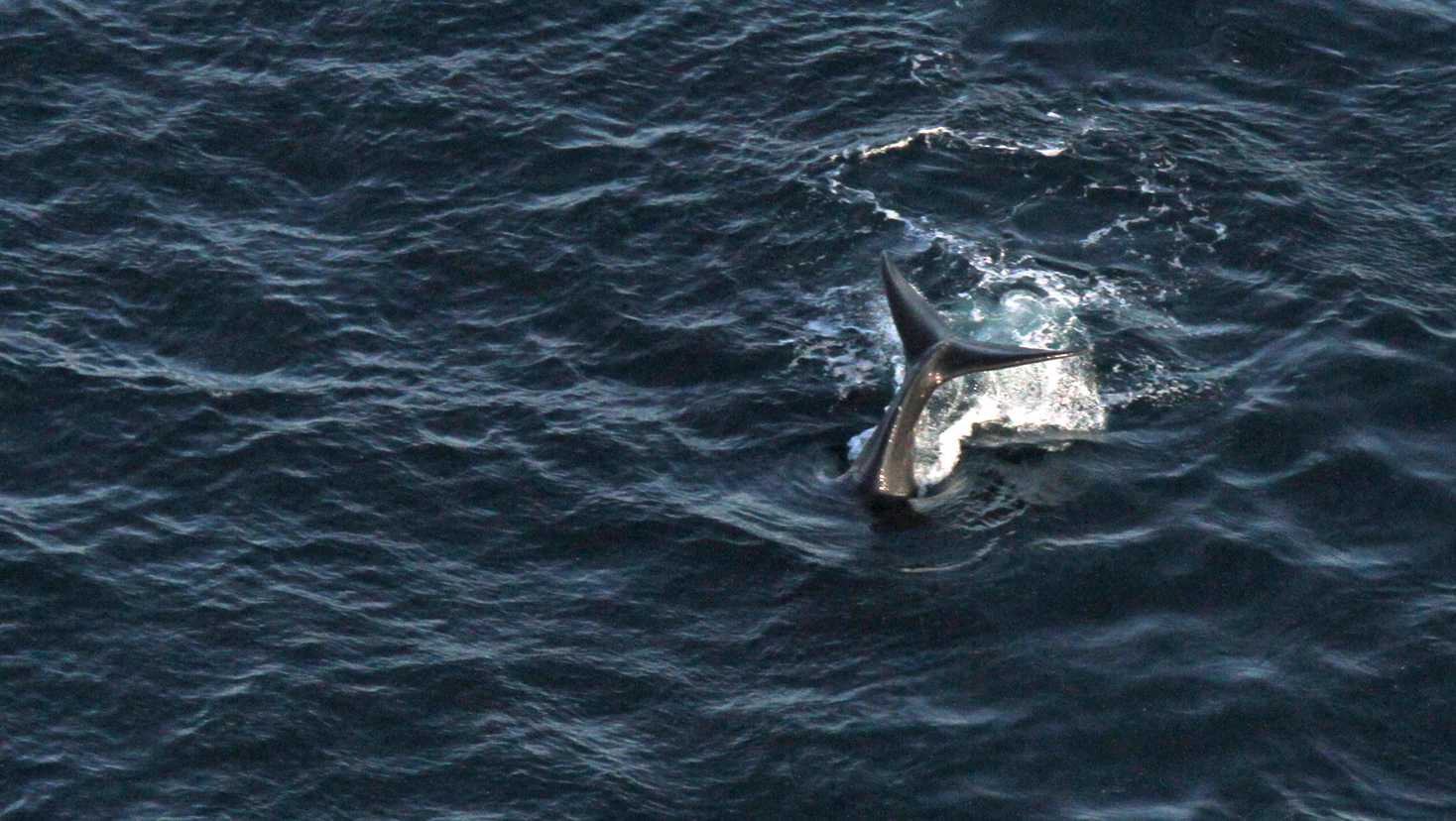 Rare baby right whales