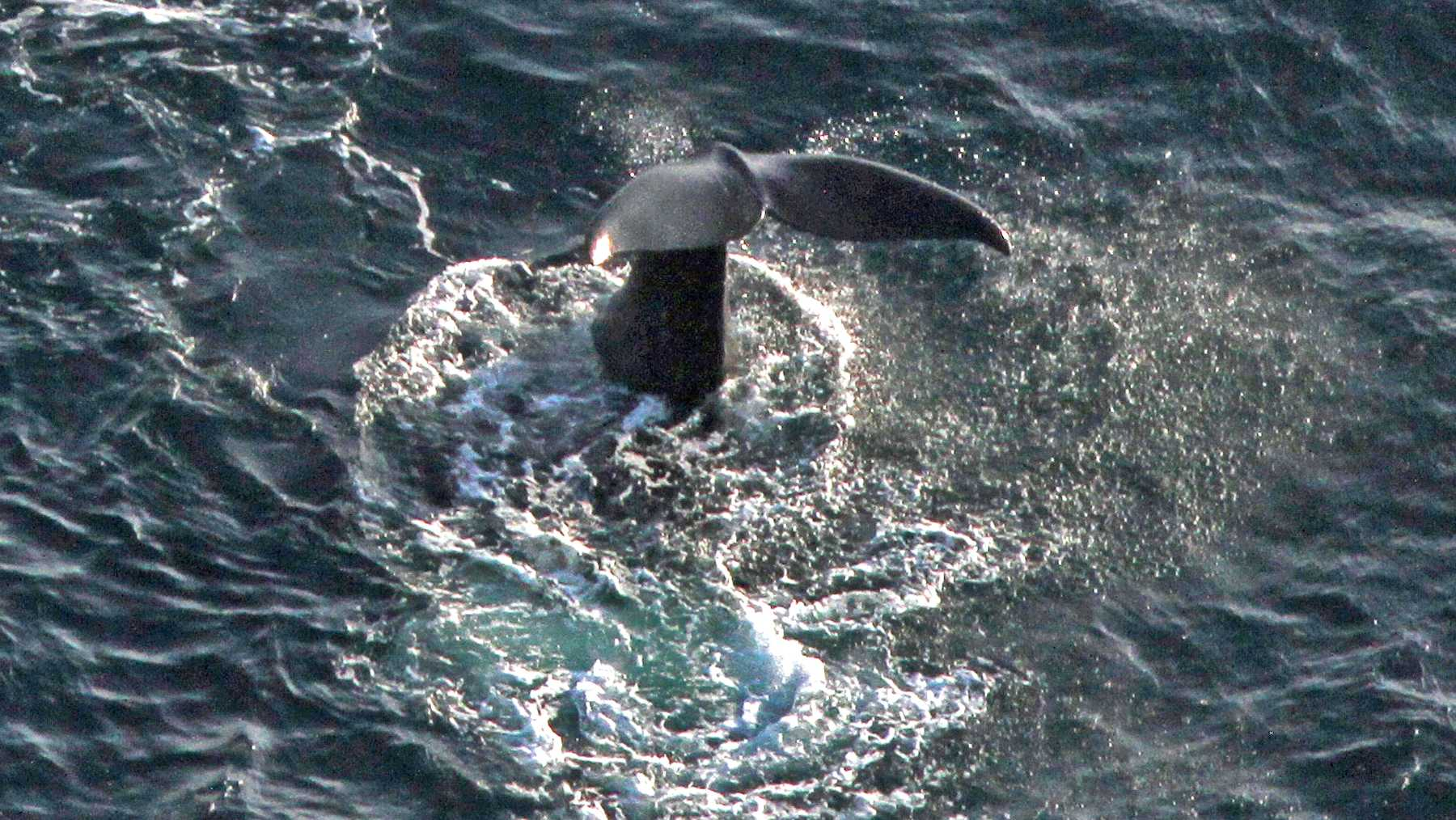 Right whale baby tale slap