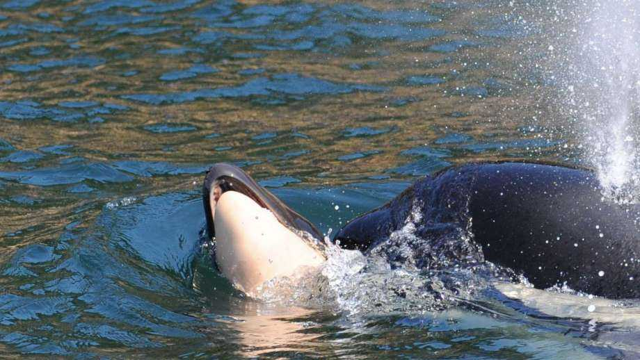 A grieving mother orca is spottedpushing her dead calf Wednesday.