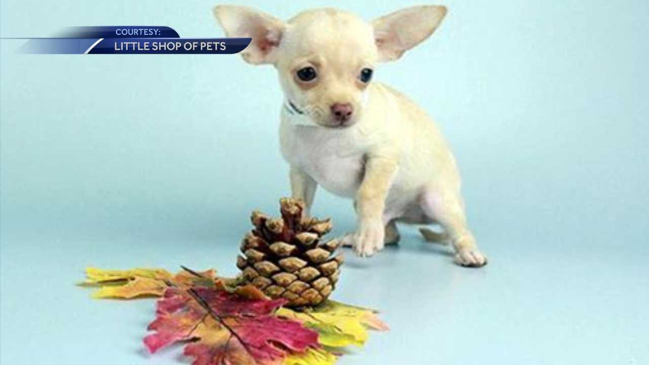 Chihuahua puppy stolen in Portsmouth