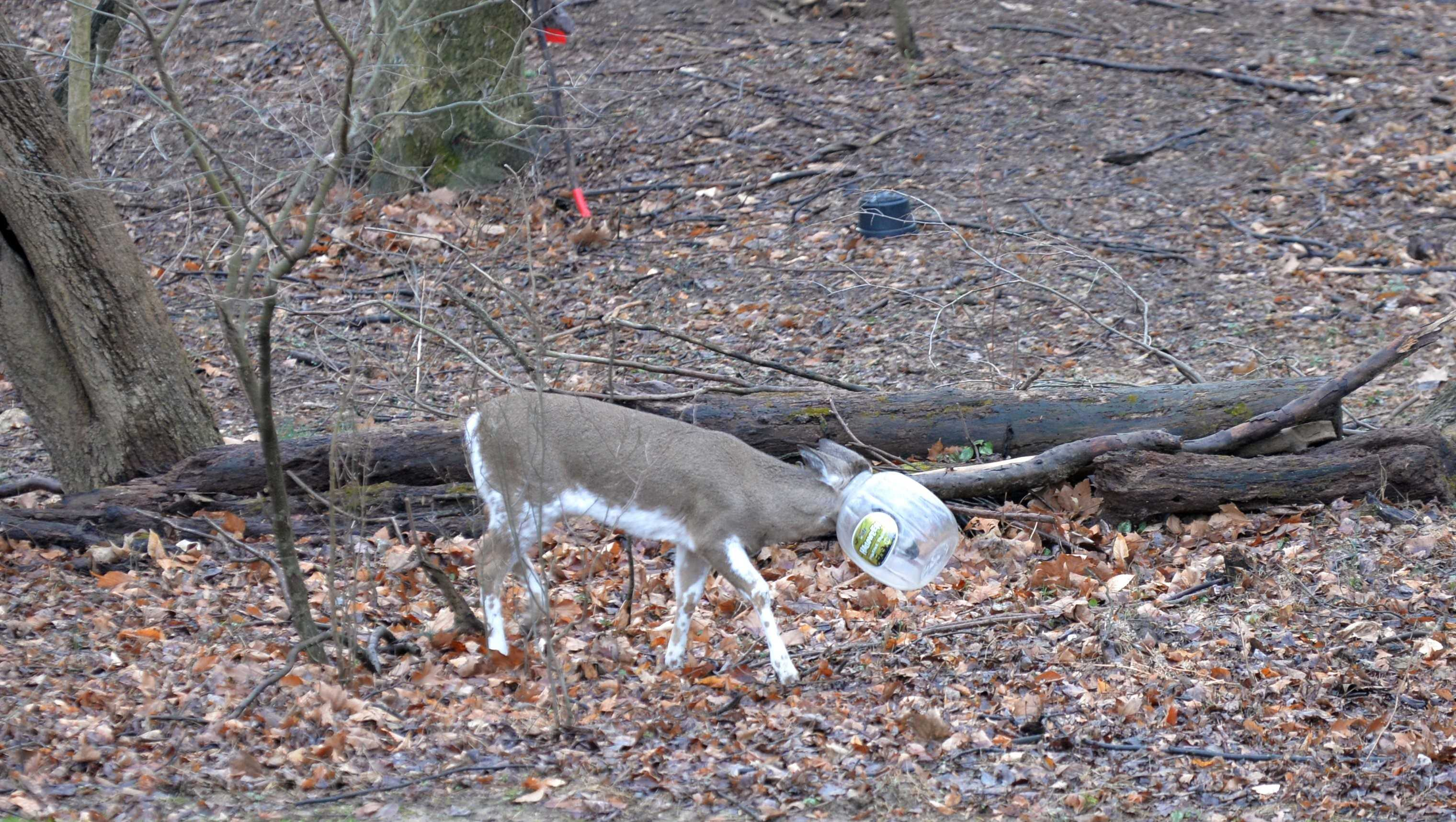 deer's head stuck in bucket
