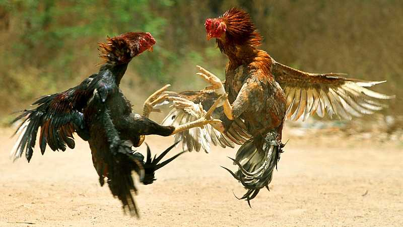 FILE image of a cockfight