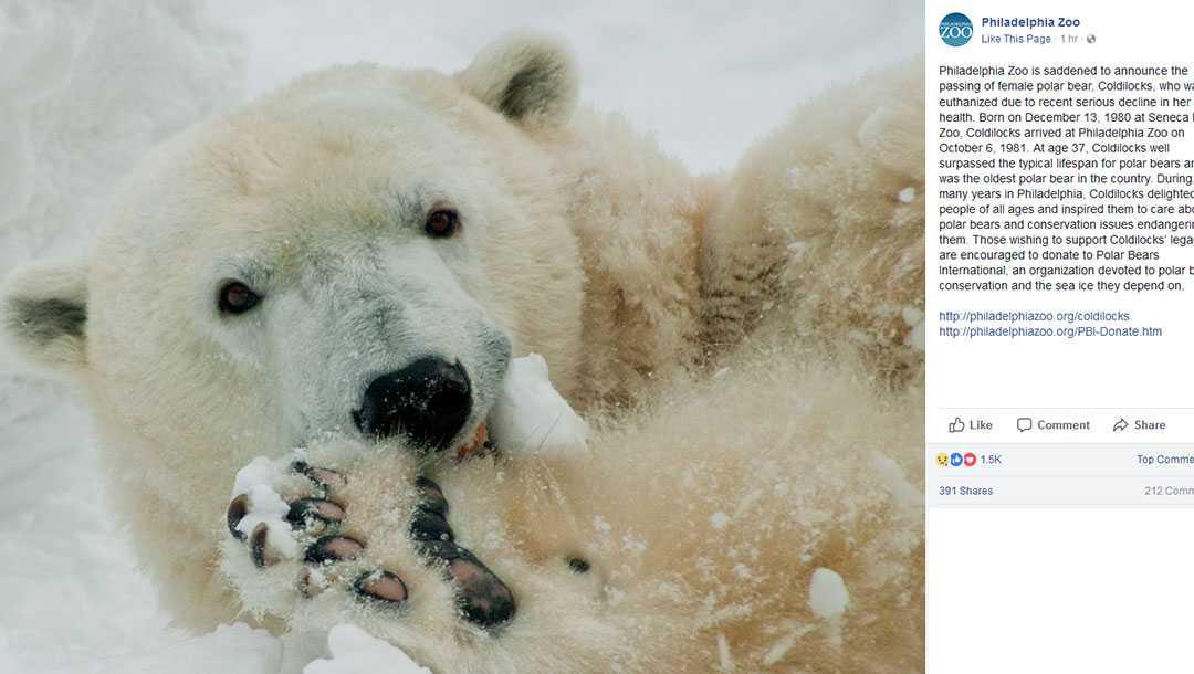 Coldilocks the polar bear