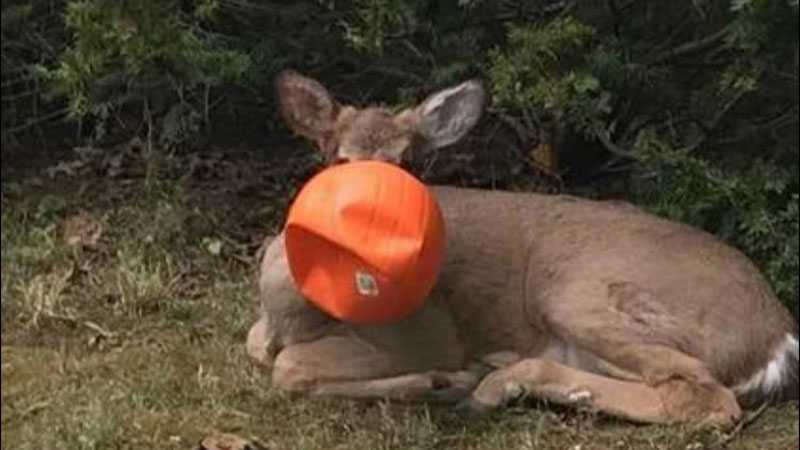 Neighbors help rescue deer stuck in fake pumpkin
