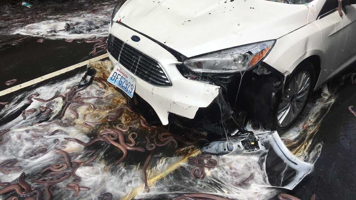 Eels spill onto Oregon Highway