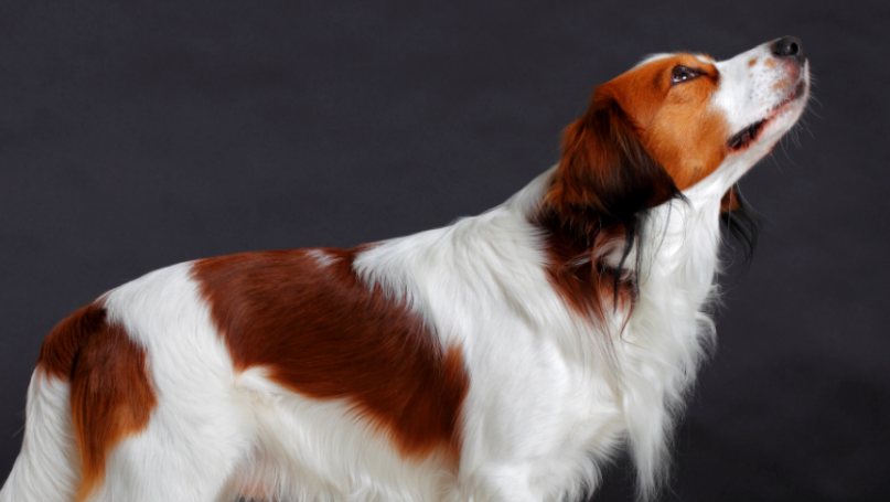 Kooikerhondje, Kooiker Hound (Canis lupus familiaris) male dog, domestic dog (Photo by Cuveland/ullstein bild via Getty Images)