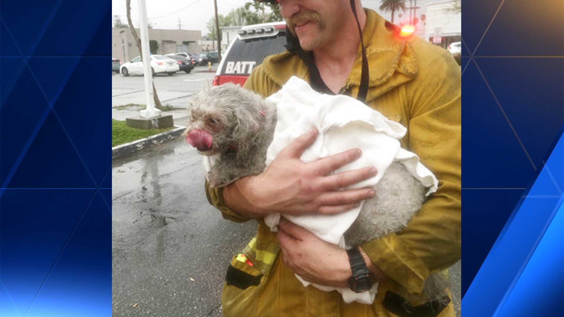 In this Tuesday, March 21, 2017 photo provided by Crystal Lamirande, Santa Monica firefighter Andrew Klein holding her dog, Nalu, in Santa Monica, Calif. Klein spent minutes giving mouth-to-snout resuscitation to the dog, who was pulled from a burning apartment. The pooch spent the next 24 hours in an oxygen chamber and is doing well.