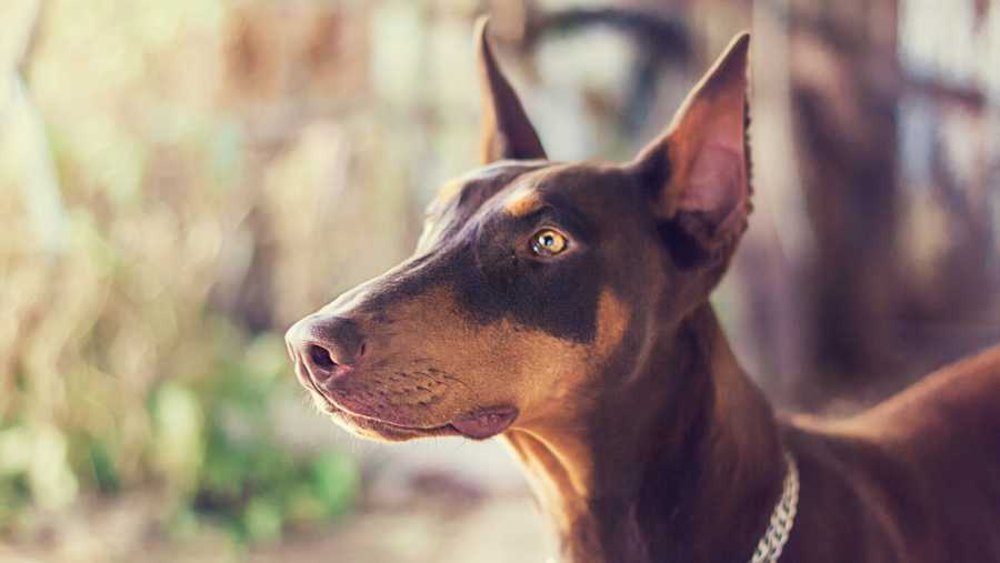 Dog Breed Responsible For Most Bites