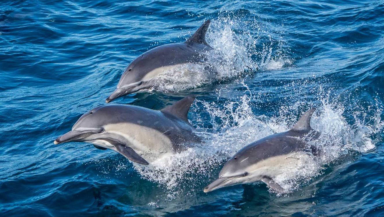 Longbeaked Common Dolphin