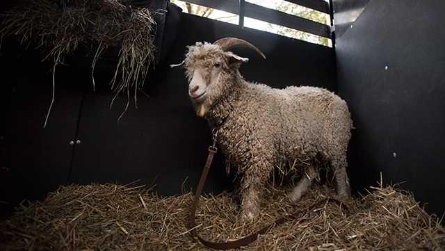 Bill 37, Bill XXXVII, Goat Mascot, Naval Academy