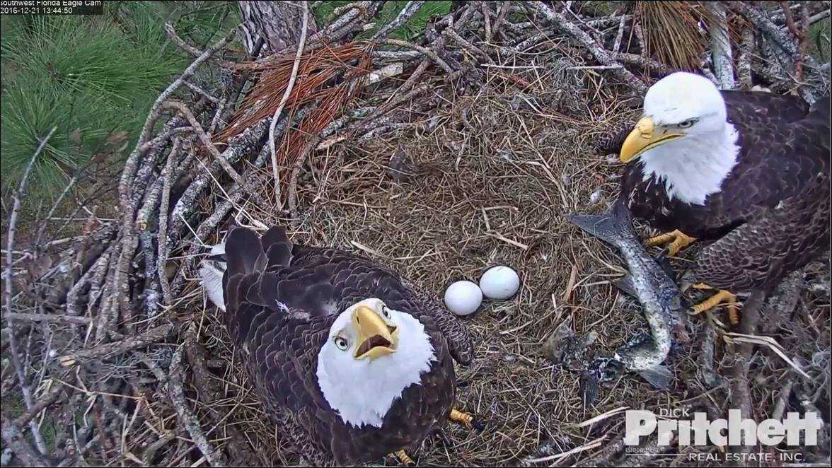 Harriet and M15 use team work to help their eggs hatch