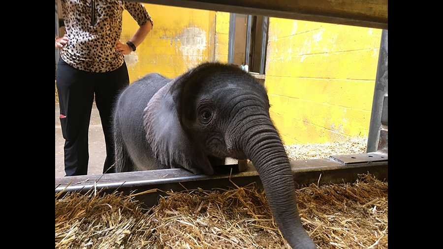 The Pittsburgh Zoo welcomes a new baby elephant.
