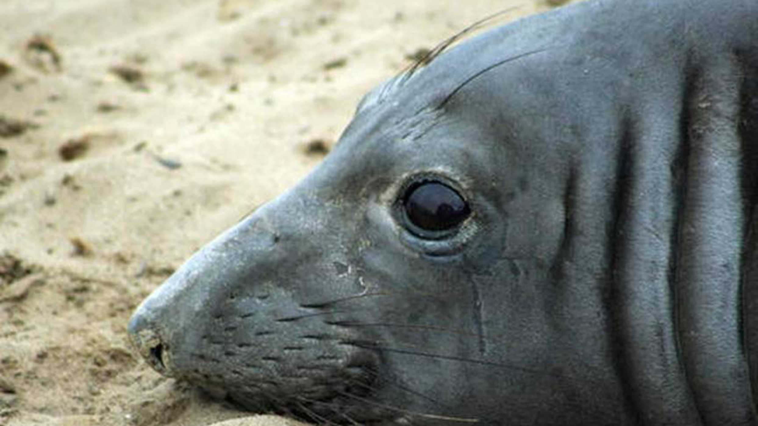 This elephant seal named Phyllis set a swimming record.