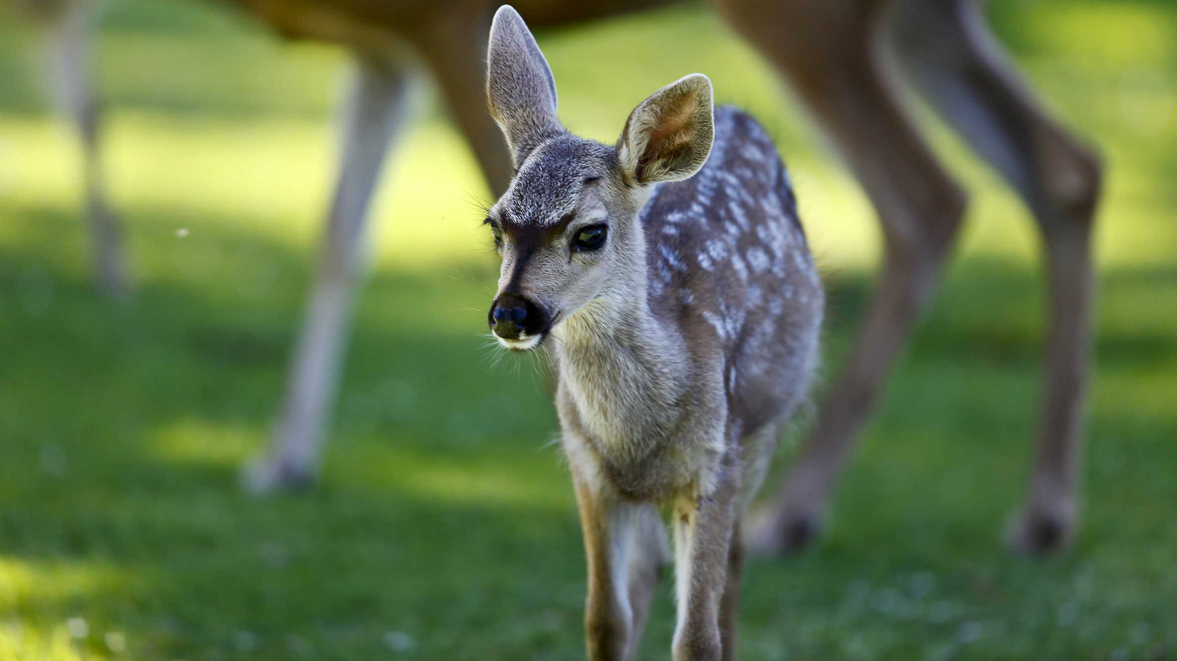 Fawn grazing in Pacific Grove