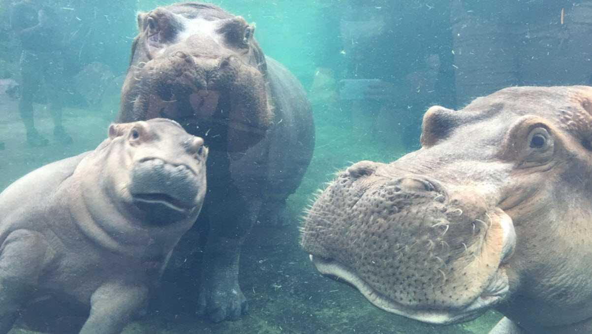 Left to right: Hippo calf Fiona, her mother Bibi and father Henry hang out together for the first time.