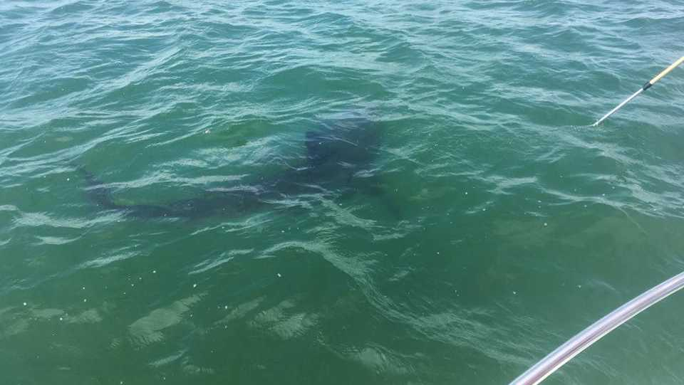 Researchers tag first great white shark of 2017 season