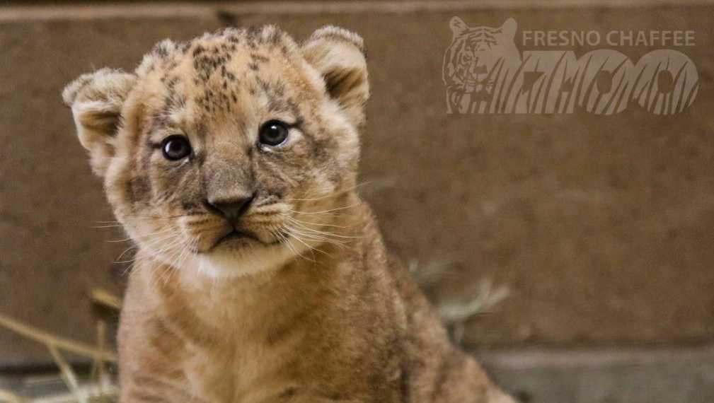 Fresno zoo's lion cub