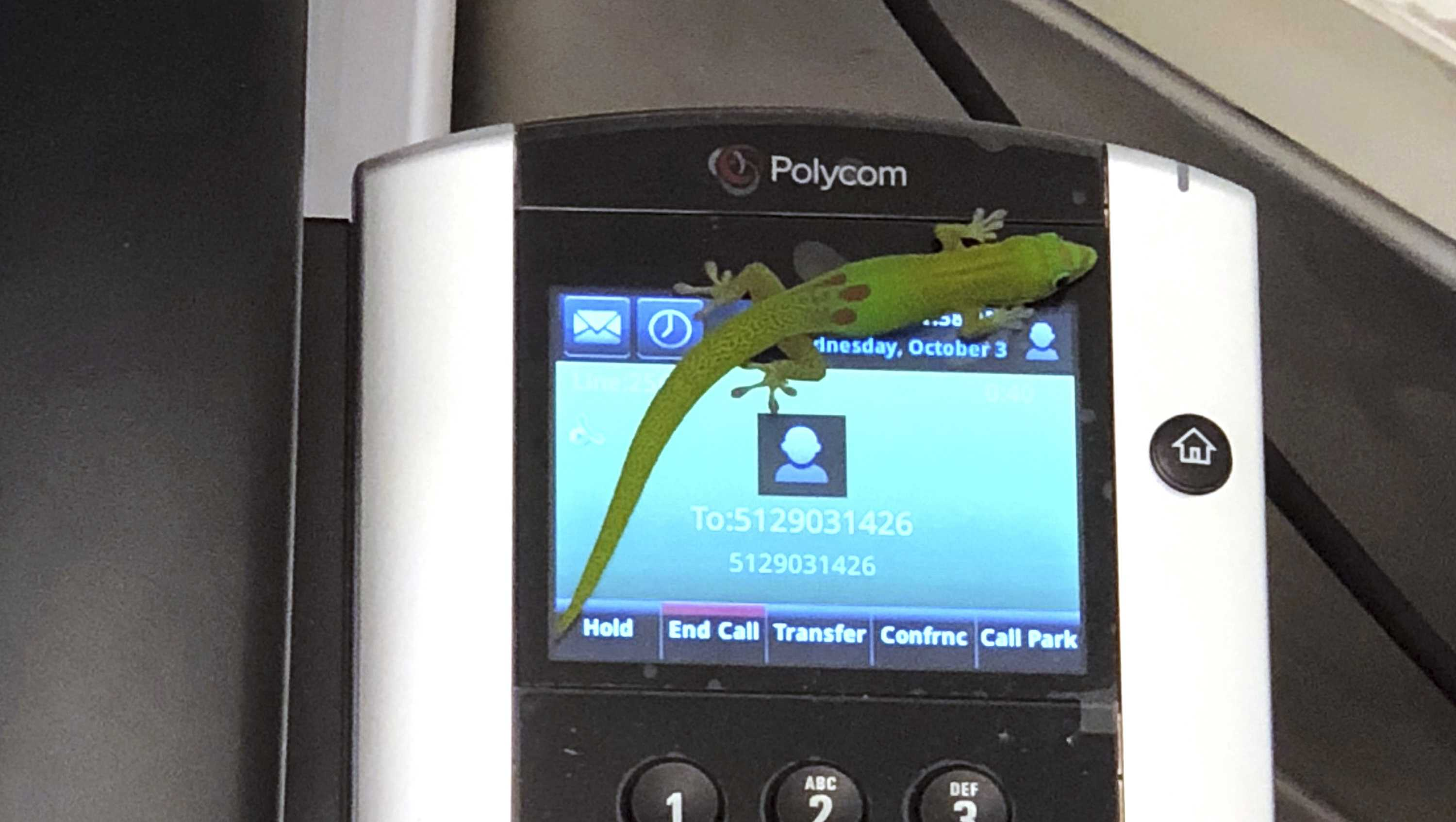 This Oct. 3, 2018, photo provided by The Marine Mammal Center hospital director Claire Simeone shows a gecko on a phone at the center in Kailua Kona, Hawaii. The gecko is the culprit in making numerous calls in the phones' recent call history with his tiny feet.