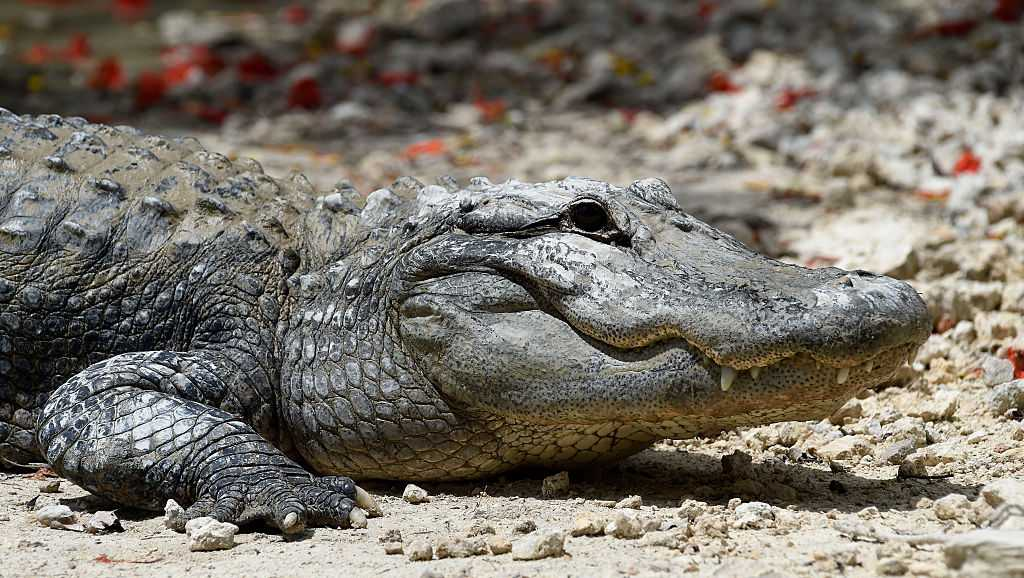 An American alligator rests on the shore of the alligator lagoon at Everglades Alligator Farm in Homestead, Florida, on June 24, 2016.