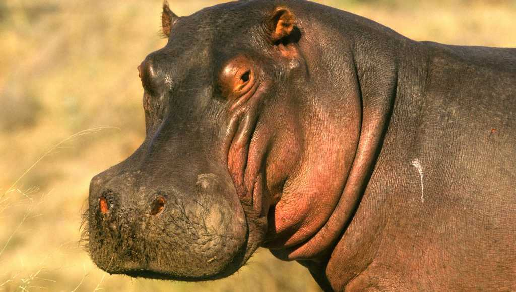 Hippopotamus file photo