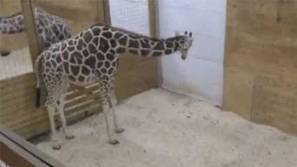 Animal Adventure Park giraffe