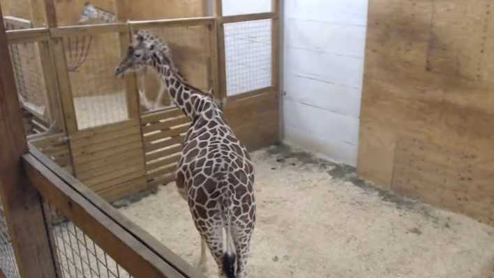 April the giraffe on Thursday night