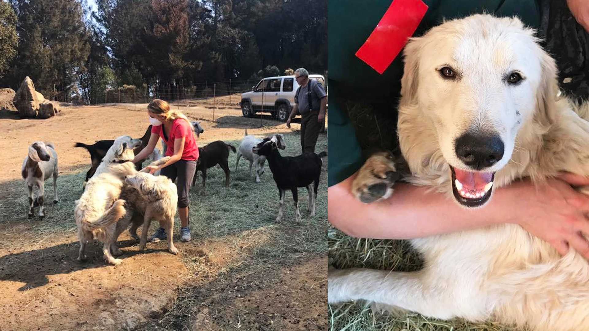 Odin, his sister Tessa and the goats got some much-needed human love after surviving the Tubbs Fire.