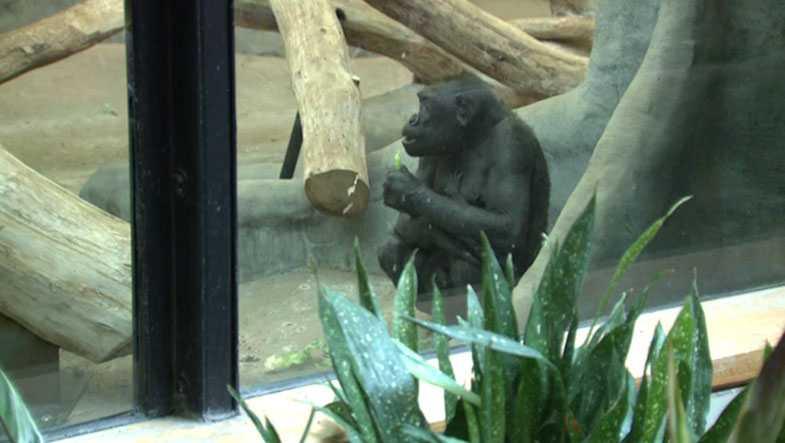 new baby gorilla at Milwaukee County Zoo