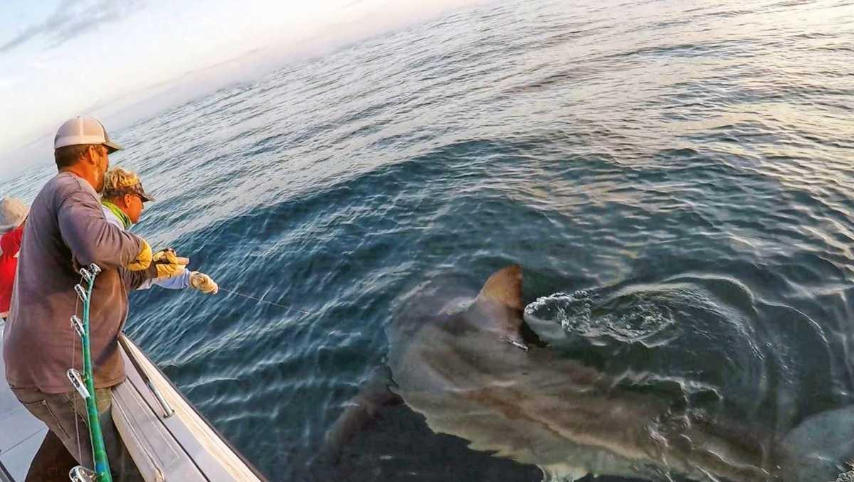 Massive great white shark caught off sc coast proves too for Great white shark fishing