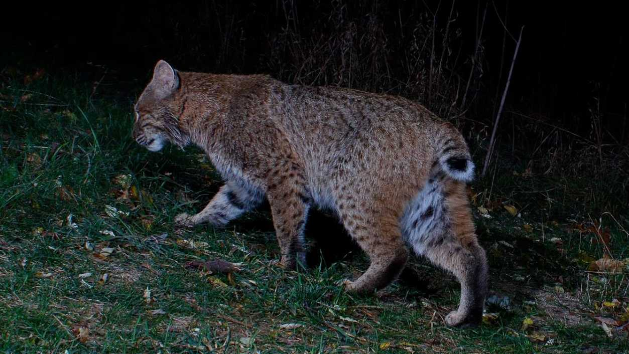 Bobcat in Groton backyard