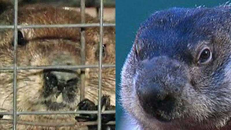 Groundhog hath spoken: Six more weeks of winter