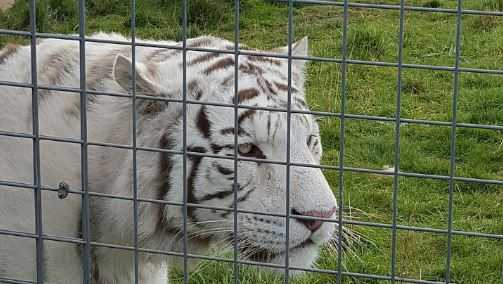 A white tiger at Hamerton Zoo Park on Oct. 13, 2015.