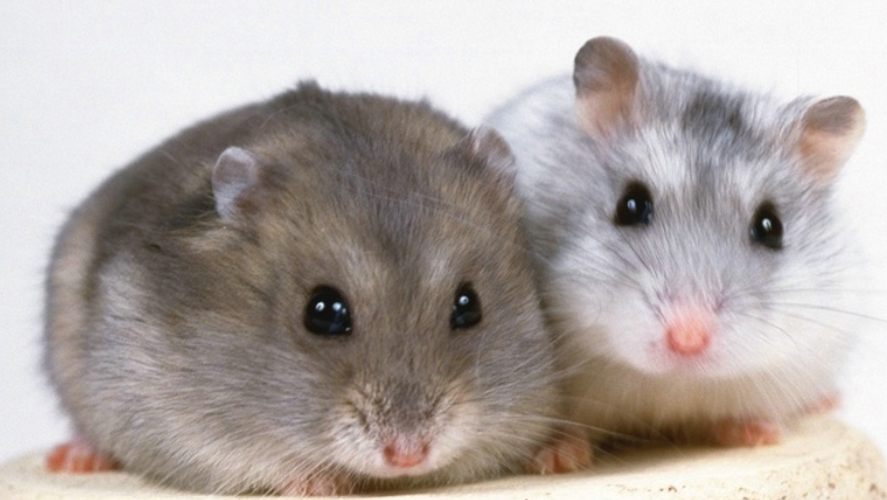 Generic picture of Hamsters